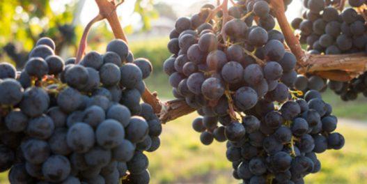 Klimatske promene i vinogradarstvo u Srbiji