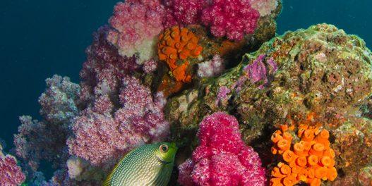 Otkriven novi zdrav koralni greben, viši od Ajfelovog tornja