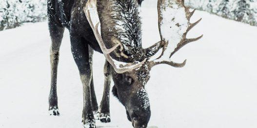 Studija: Klimatske promene menjaju ponašanje životinja na Arktiku