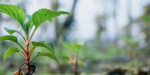 Okrug u Indiji svojim stanovnicima isplaćuje novac za svako drvo na njihovom posedu
