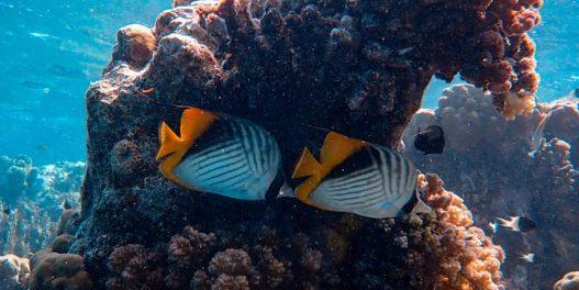 """Podvodna """"muzika"""" privlači mlade ribe na degradirane koralne grebene"""