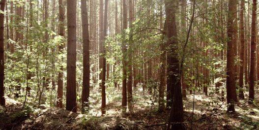 Neke šume bi zbog zagrevanja sredinom veka mogle da postanu izvori emisija CO2