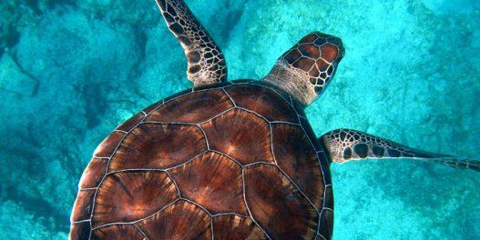 60% svih vrsta kornjača je ugroženo zbog gubitka staništa i klimatskih promena