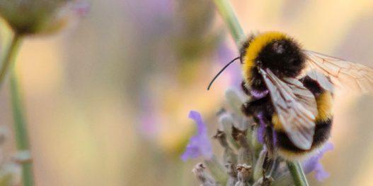 Kako klimatske promene ugrožavaju opstanak pčela?