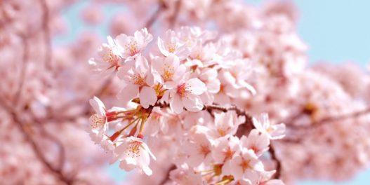 Trešnjin cvet u Kjotu ove godine procvetao najranije do sada