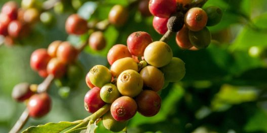 Nusproizvod proizvodnje kafe ubrzava oporavljanje šuma